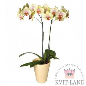 орхидея фаленопсис в горшке