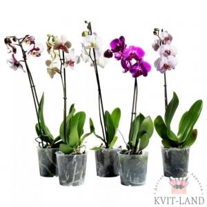 на одну стрелу орхидея в горшке
