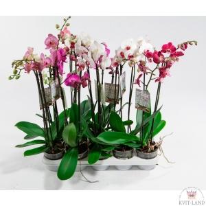 орхидея фаленопсис палетка