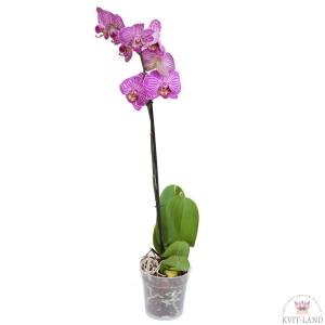 фиолетово-белая орхидея