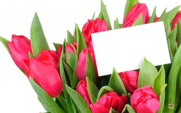 розовый тюльпан с открыткой