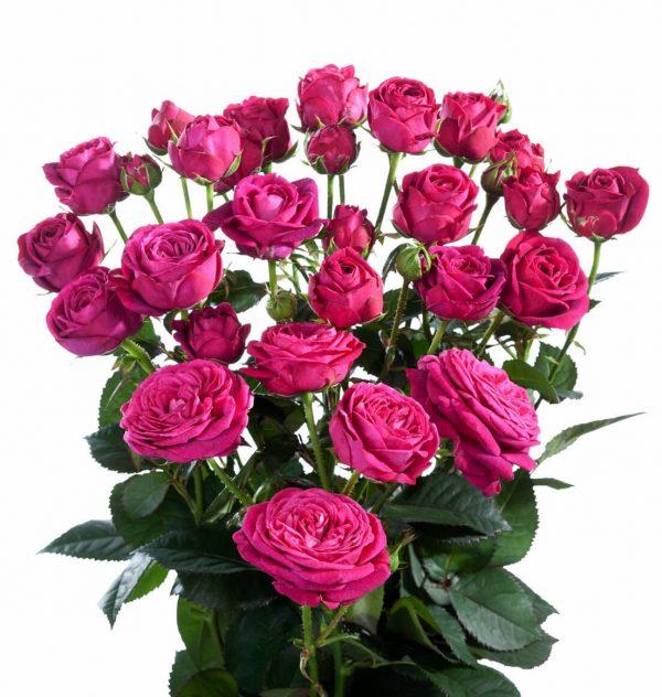 кустовая роза розового цвета