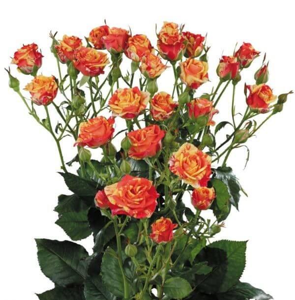 красно-желтая кутовая роза