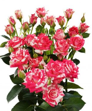 бело-розовая кустовая роаз