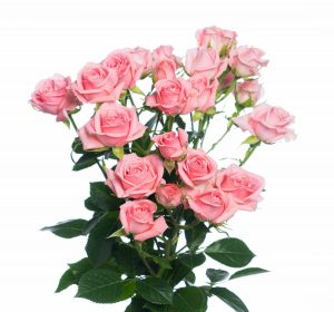 кустовая роза нежно-розовая