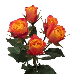 кустовая роза огненного цвета