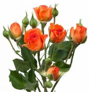 роза кустовая кораллового цветоа