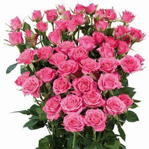 кустовая роза ярко-розовая