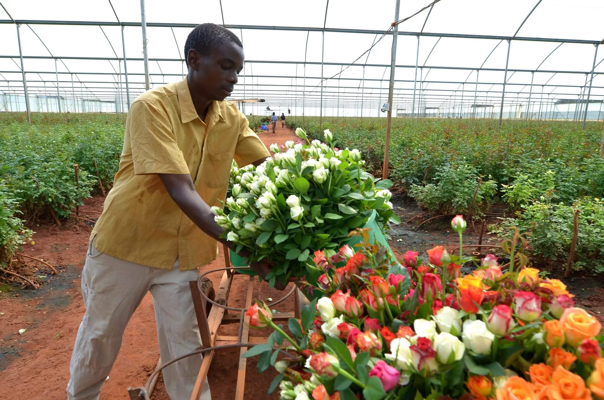 кениец собирает розу