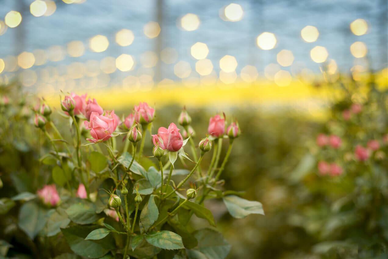 полная теплица роз