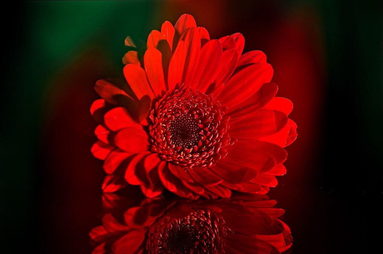 гербера красного цвета