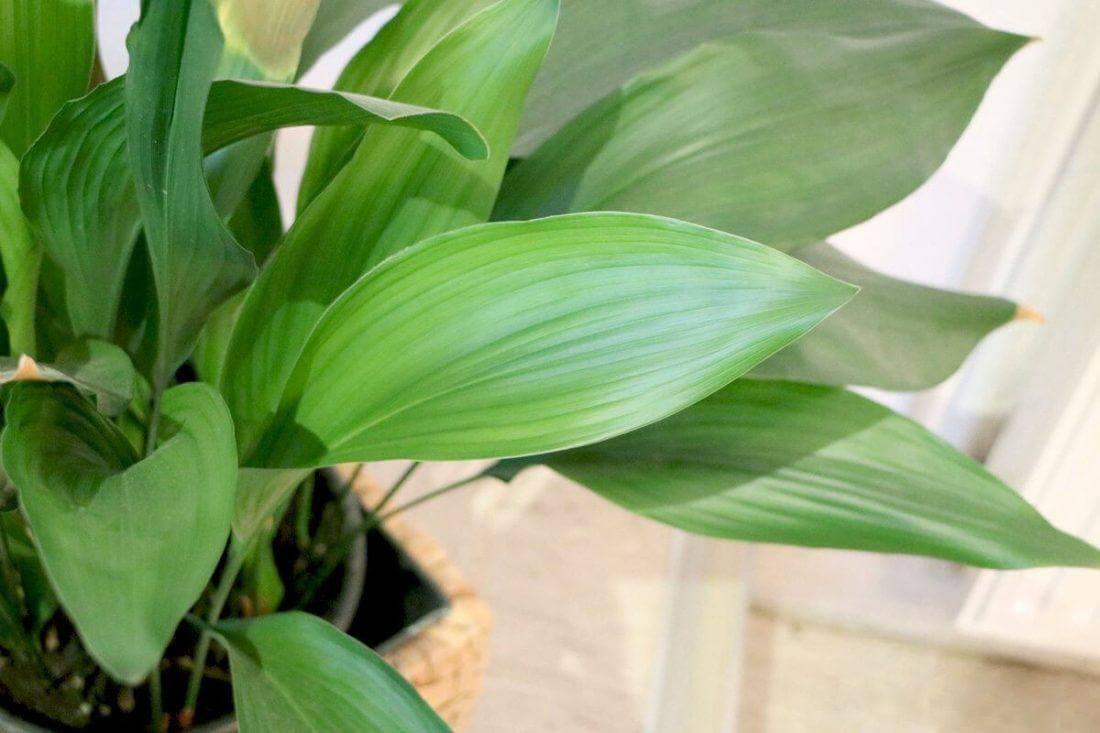 листья аспидистры в горшке