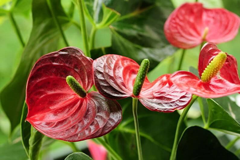 красивый цвет красного антуриума