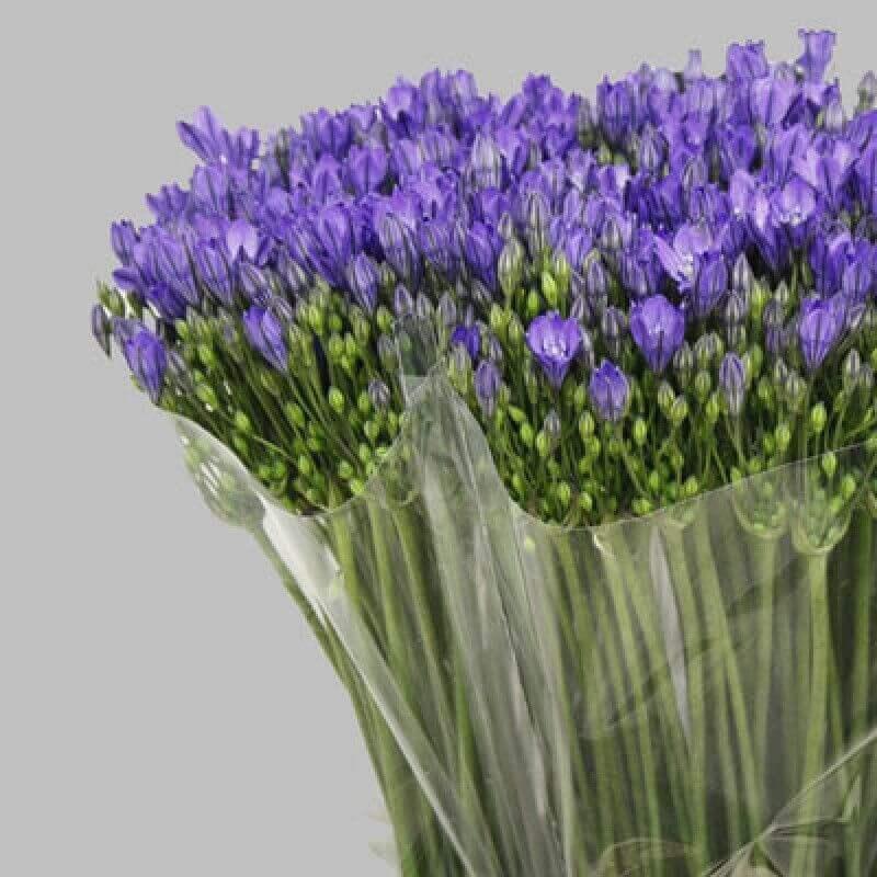 фиолетовые цветочки в пучках