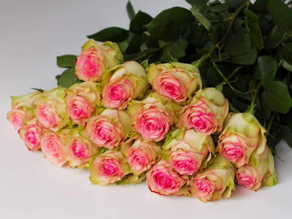 фото шикарных голландских роз