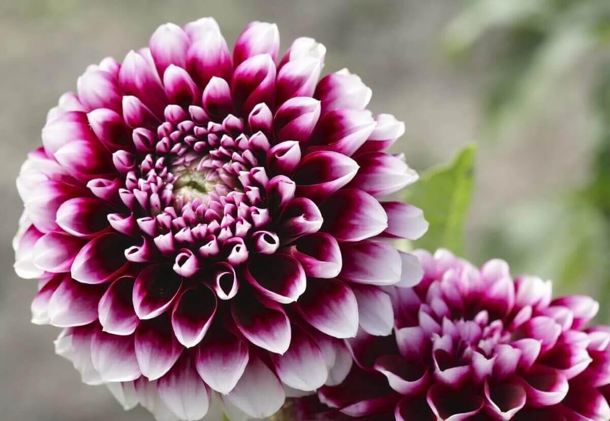 картинки георгины цветы
