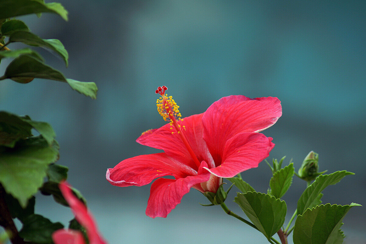 веточка гибискуса с цветком