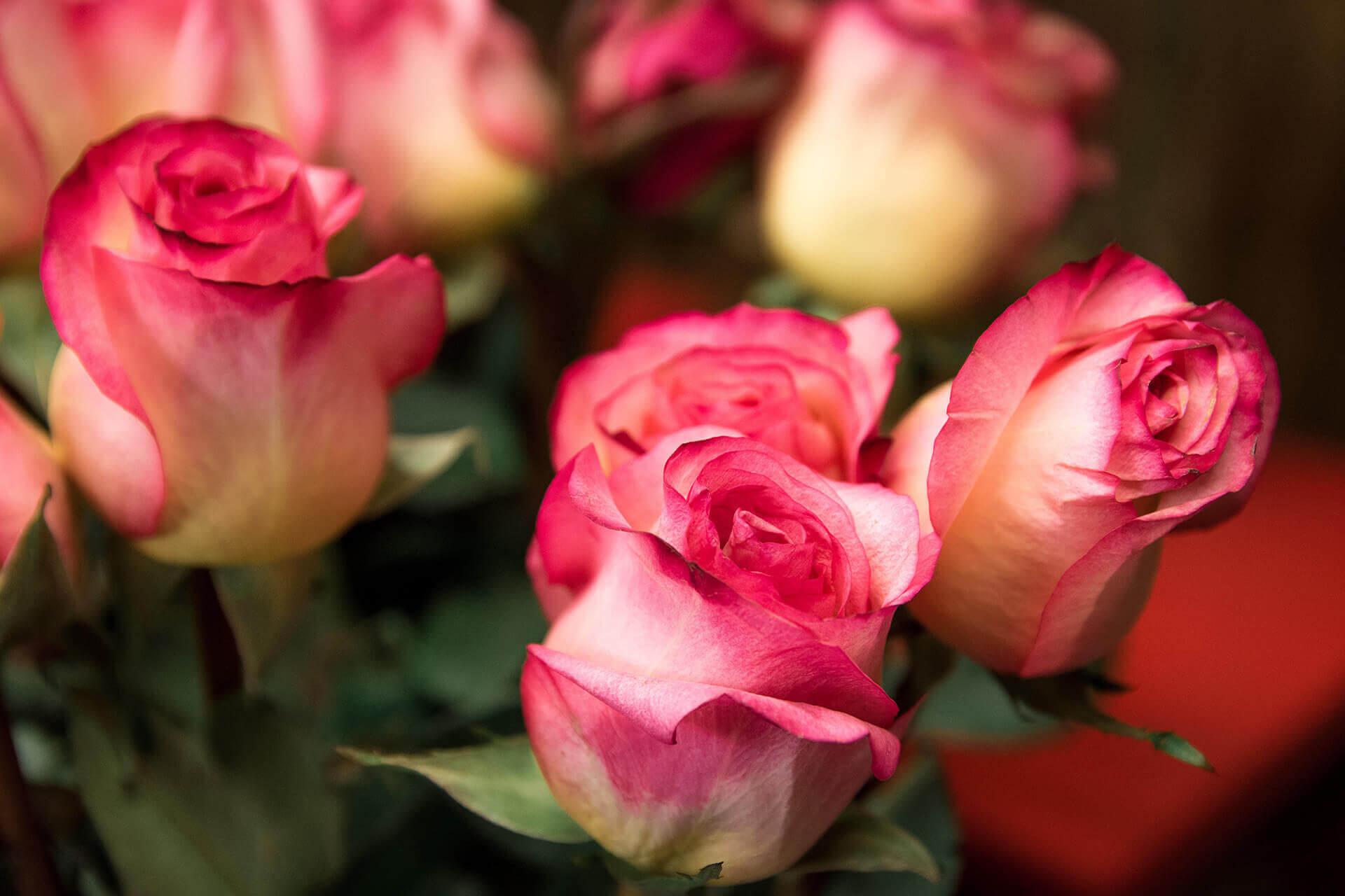 голландская роза бутон