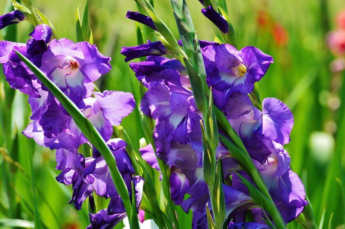цветы гладилолус фото