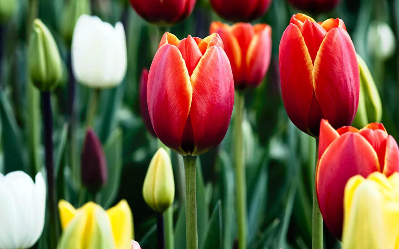 цветы тюльпан картинки