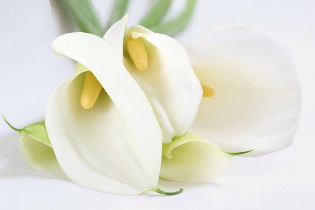 красивый белые каллы