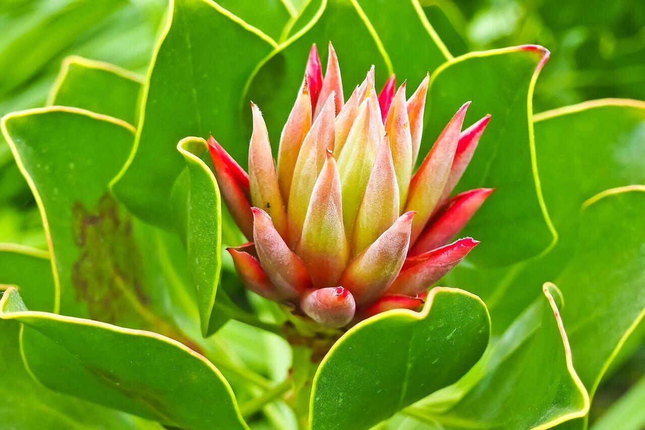 красивый цветок куркума