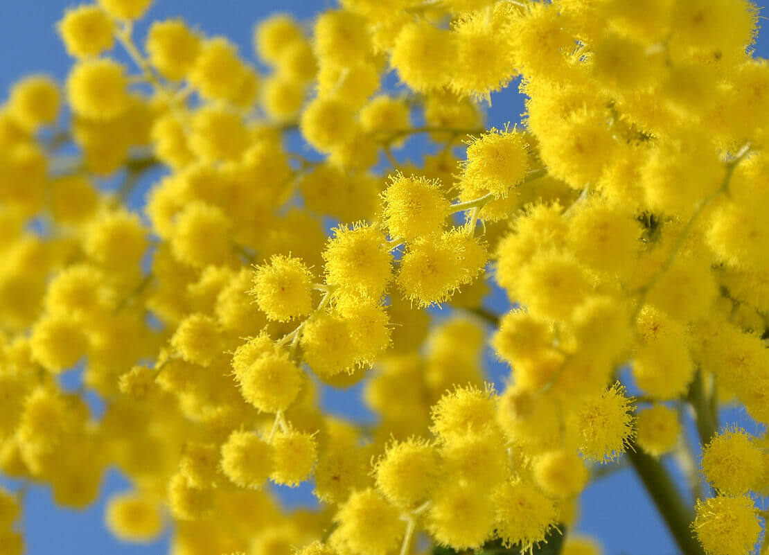 мимоза цветы на 8 марта