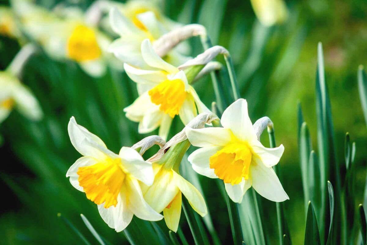 цветок нарцисс фото