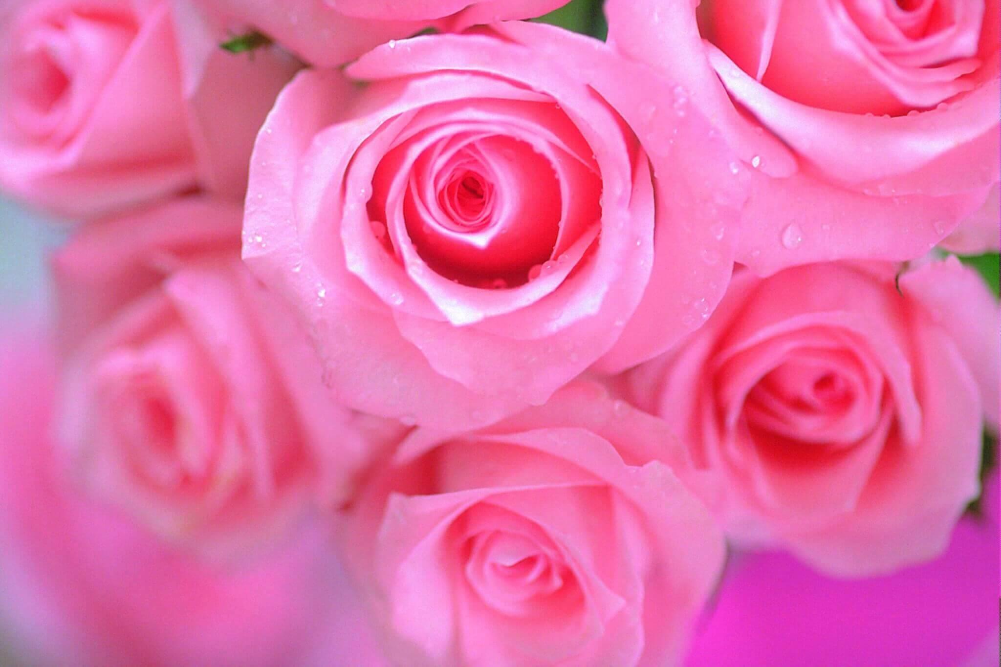 фото розовой розы