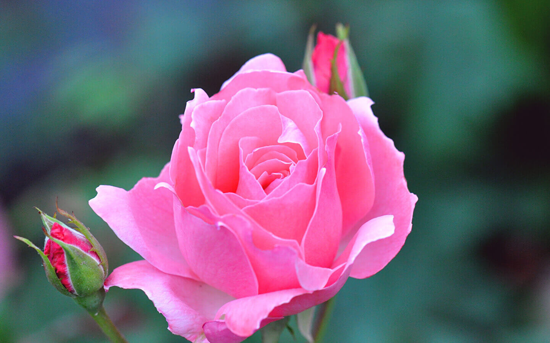 Красивое фото розы