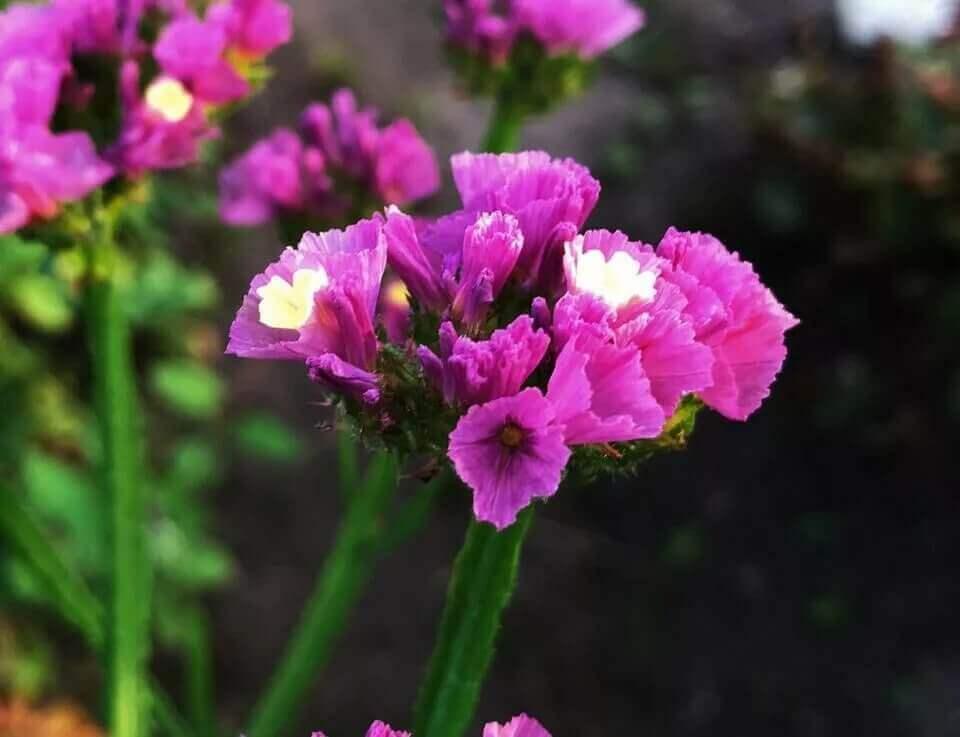 соцветия статицы розовые
