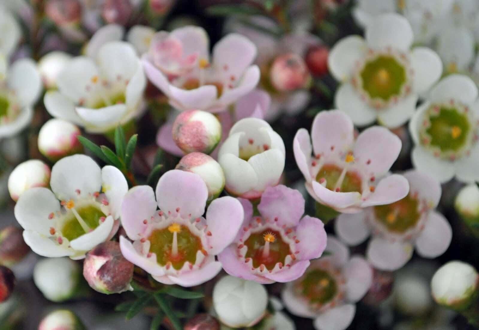 Белые цветы хамелациум