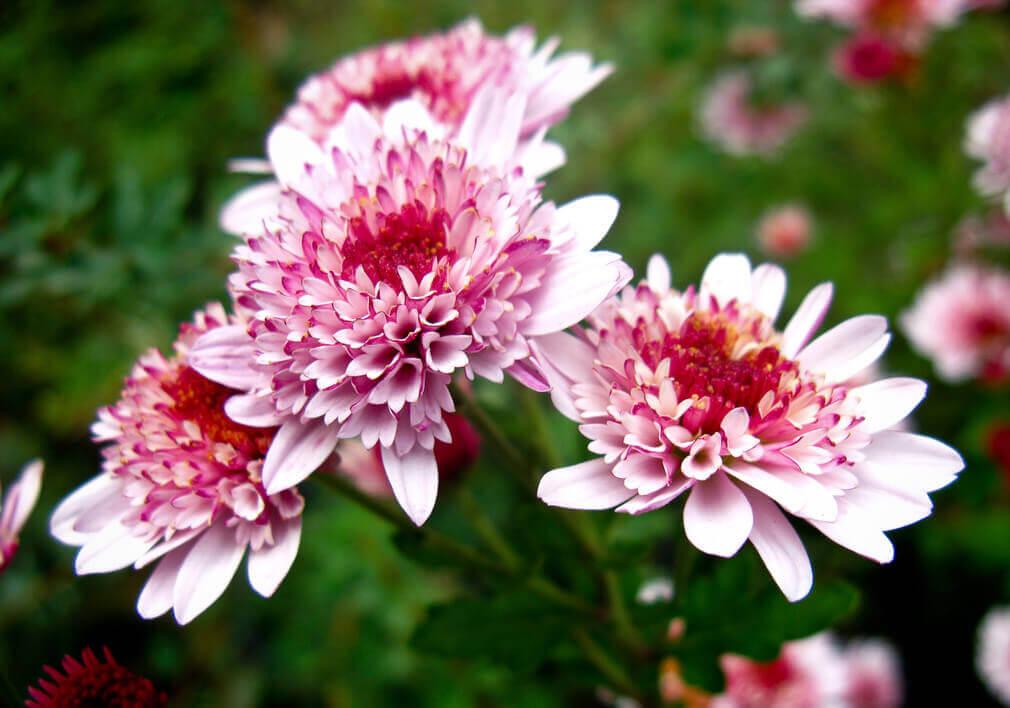 Рябая хризантема фото